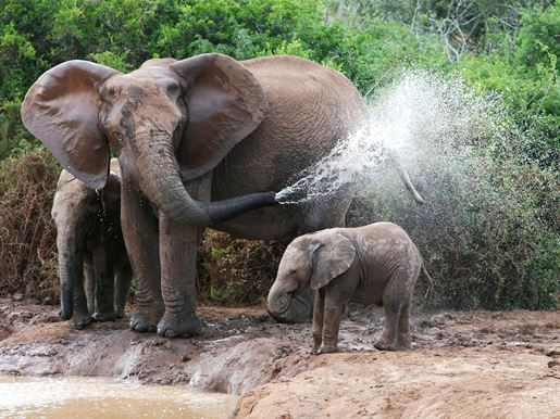 Canva A Mother Elephant Spraying Water Past Her Baby Elephant